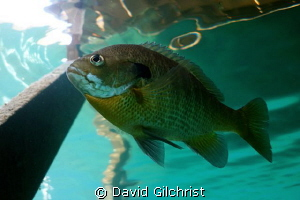 Sunfish, Lake Rawlings,VA by David Gilchrist 